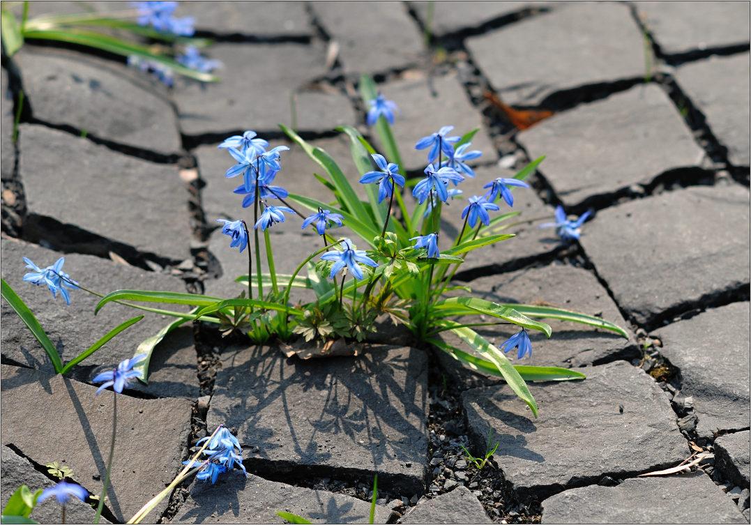 Купить цветы на асфальте, растение