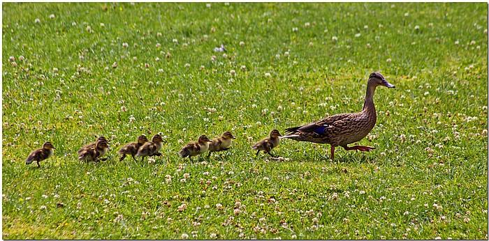 "photo ""Duck Walk"" tags: nature, humor, wild animals"
