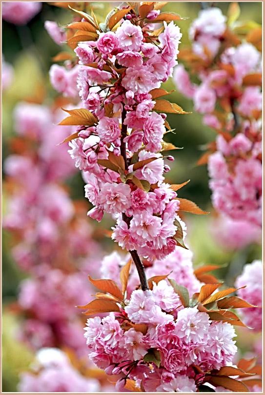 """фото """"Песня сакуры"""" метки: природа, цветы"""
