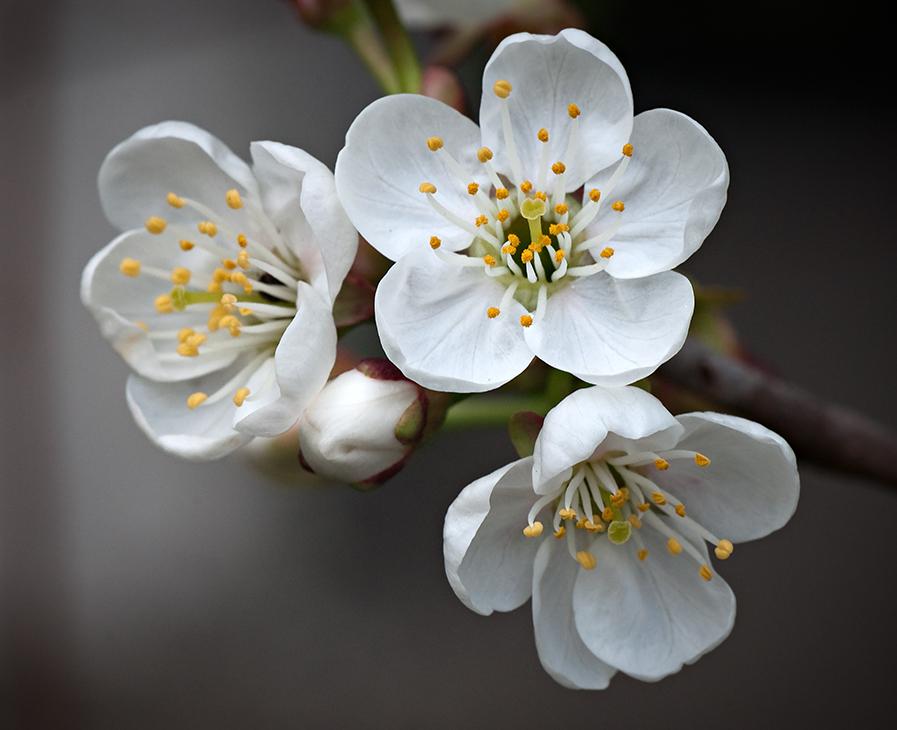 цветы вишни фото картинки гнёздово мог посетить