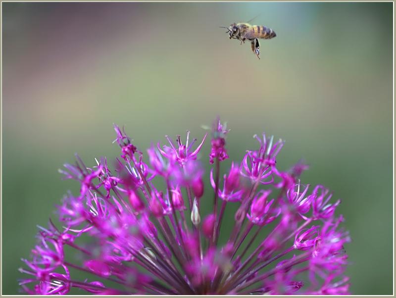 """фото """"Пора домой!"""" метки: природа, насекомое, цветы"""
