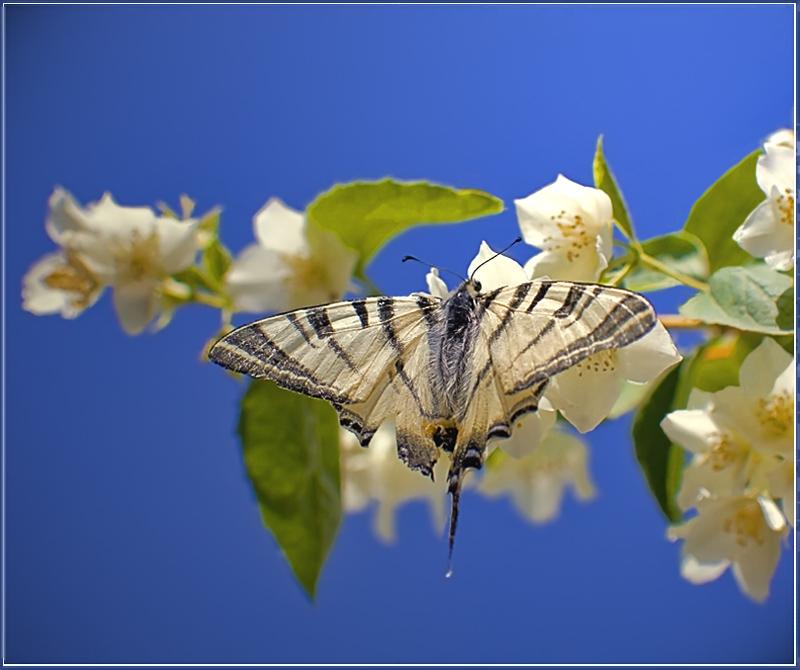 """фото """"Парус"""" метки: природа, макро и крупный план, насекомое"""