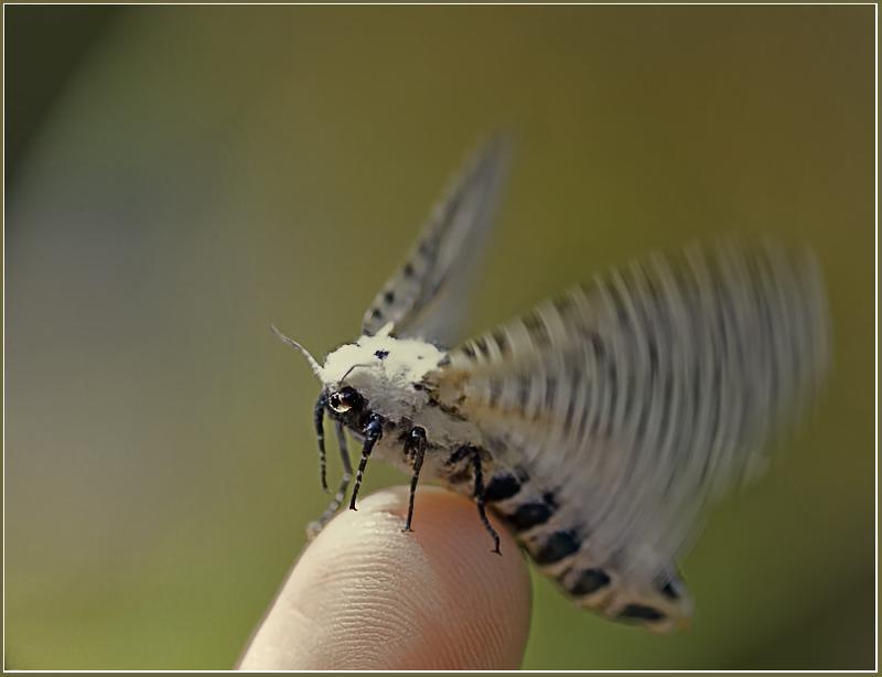 """фото """"Ночная гостья"""" метки: природа, макро и крупный план, насекомое"""