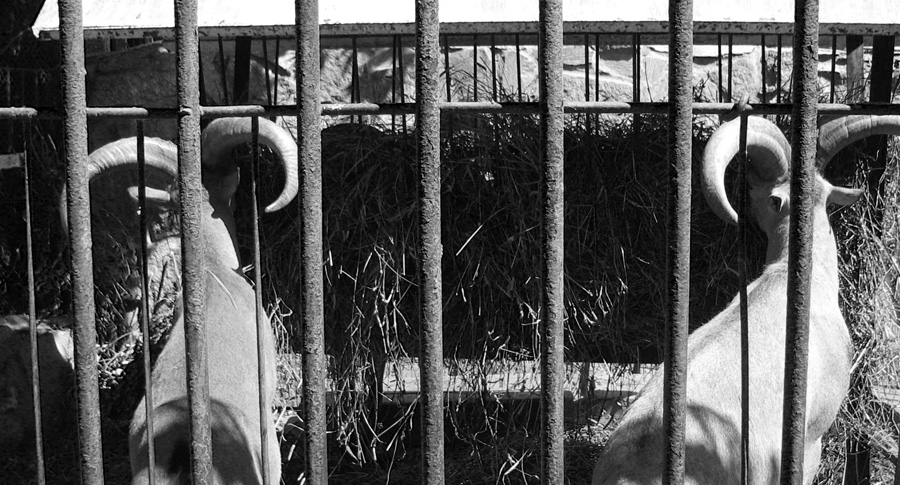 """фото """"in the zoo"""" метки: природа, черно-белые, дикие животные"""
