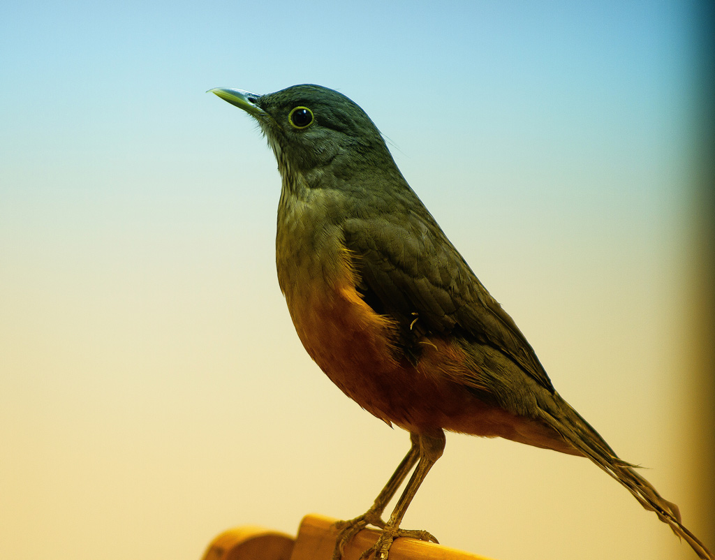 "photo ""Sabia Laranjeira"" tags: nature, pets/farm animals, wild animals"