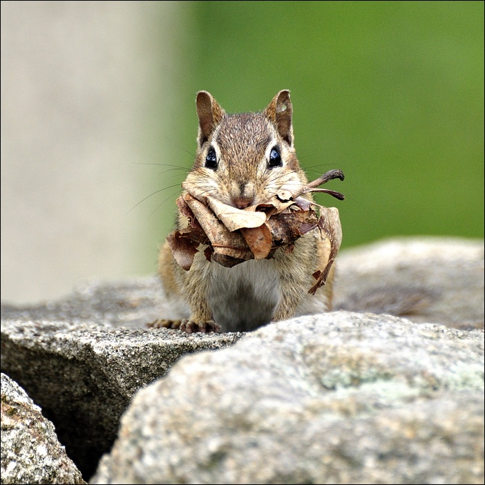 "photo ""thrifty chipmunk"" tags: nature, wild animals"