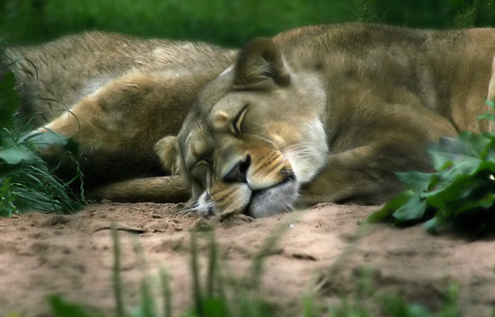 "photo ""slumbers"" tags: nature, wild animals"