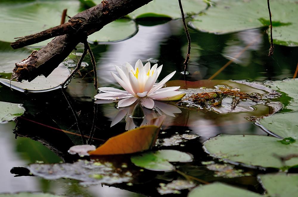 """фото """"Из жизни лилий 4"""" метки: природа, цветы"""