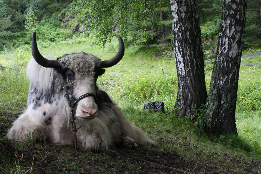 "photo ""***"" tags: nature, travel, Asia, pets/farm animals"