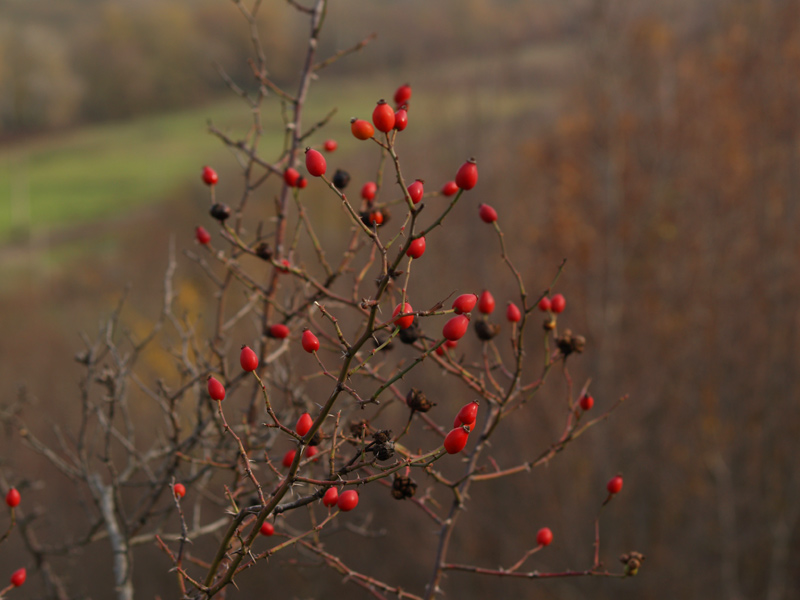 """фото """"Шиповник"""" метки: природа, пейзаж, осень, цветы"""