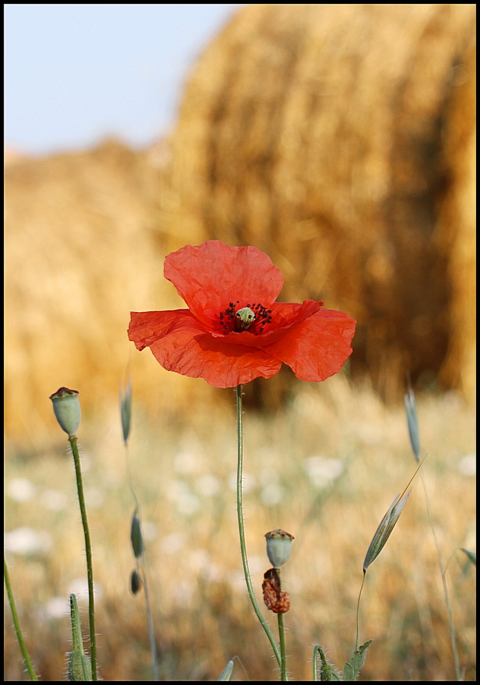 "photo ""Poppy"" tags: nature, travel, Europe, flowers"