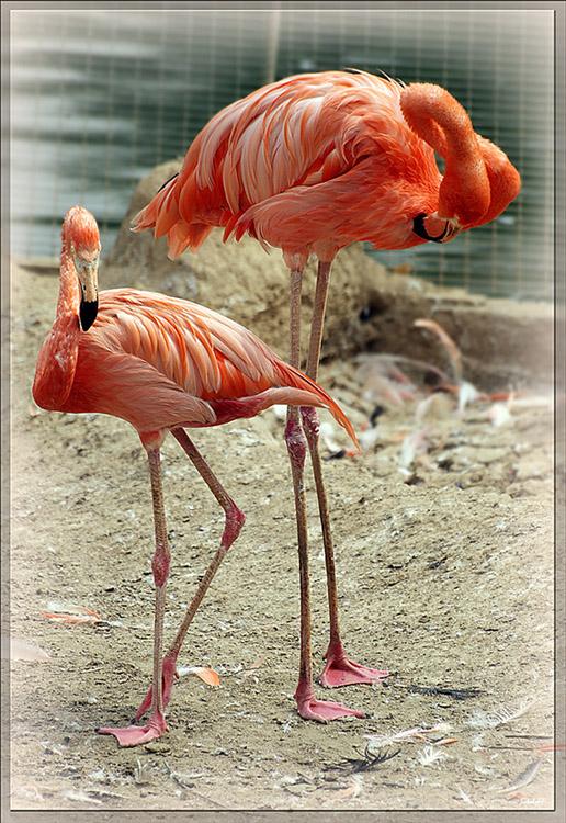 "photo ""фламинго птицы зоопарк"" tags: nature,"