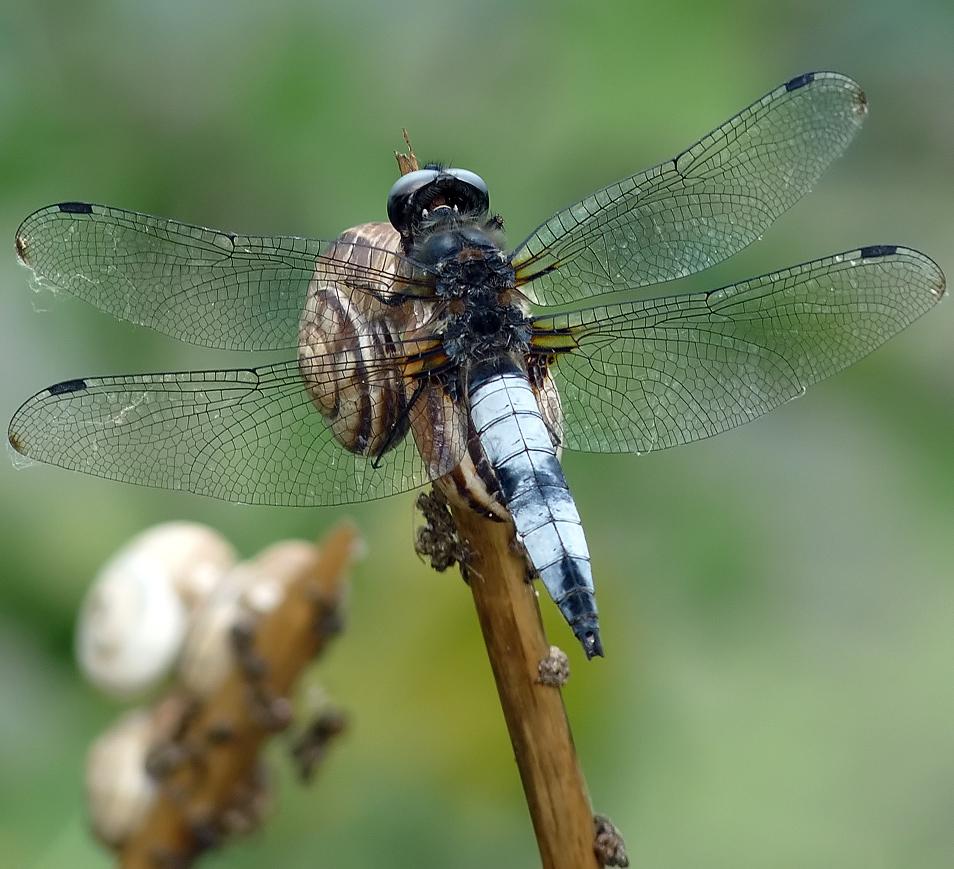 "photo ""Стрекоза плоская"" tags: nature, insect"
