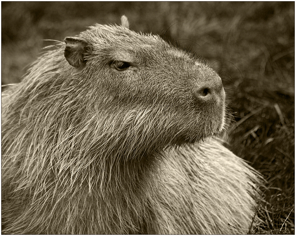 "photo ""Portrait of capybara"" tags: nature, black&white, wild animals"