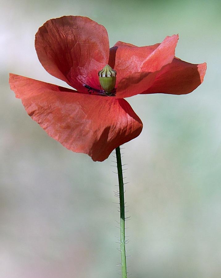 """фото """"увядающий мак"""" метки: природа, цветы"""
