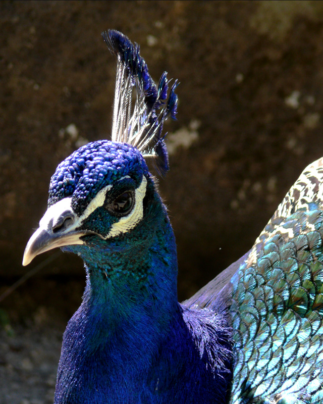 "photo ""peacock"" tags: nature, macro and close-up, wild animals"