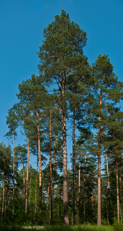 "photo ""Pines"" tags: landscape, forest, summer"