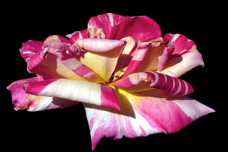 "photo ""Chromatic symphony / Цветная симфония"" tags: nature, macro and close-up, flowers"