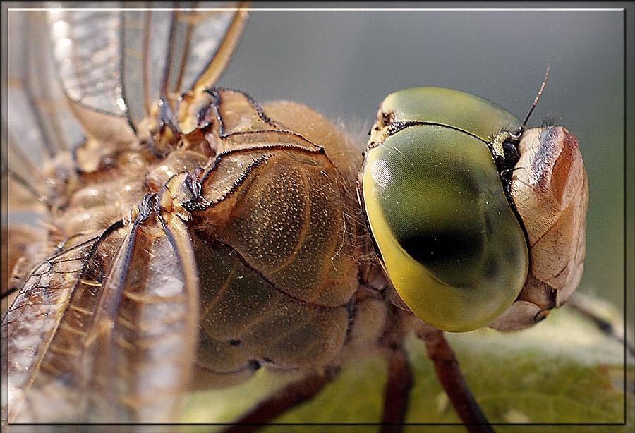 """фото """"Стрекозка"""" метки: макро и крупный план, природа, насекомое"""