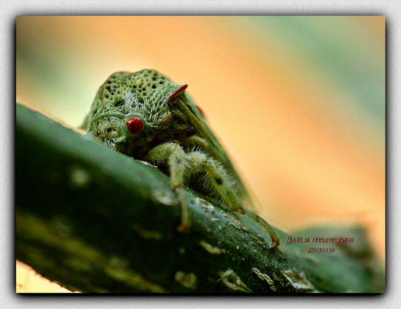 "photo ""Pulgao de olhos vermelhos"" tags: nature, macro and close-up, insect"