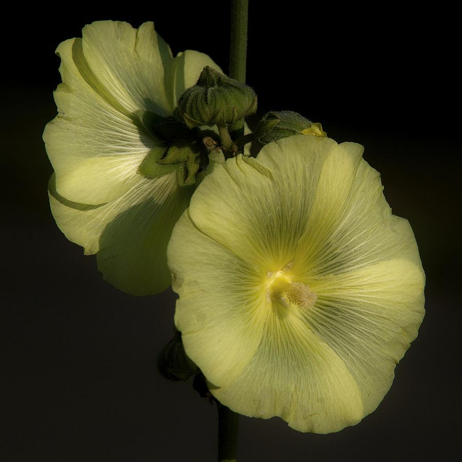 """фото """"мальва"""" метки: природа, цветы"""