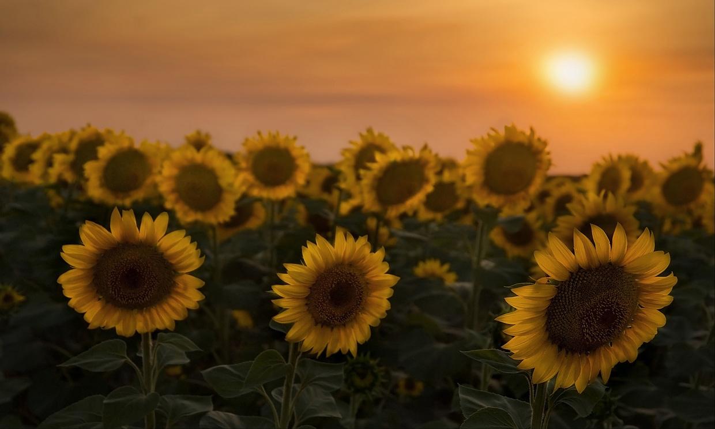 """фото """"Солнечные цветы"""" метки: природа, цветы"""