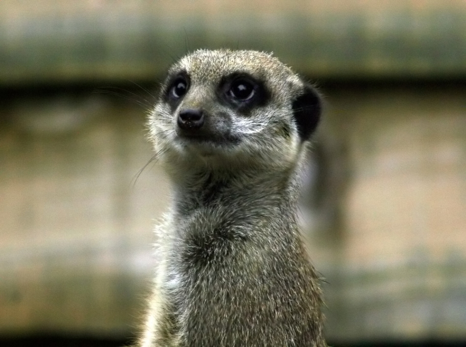 "photo ""meercat portrait"" tags: nature, wild animals"