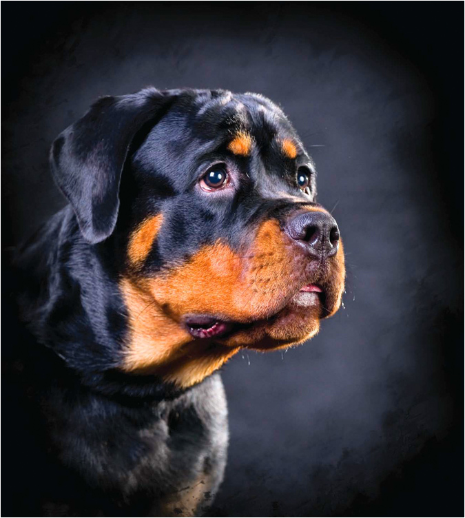 "photo ""Portrait of a young Rottweiler"" tags: nature, pets/farm animals"