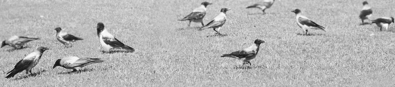 "фото ""crows on the ground"" метки: черно-белые, природа, дикие животные"