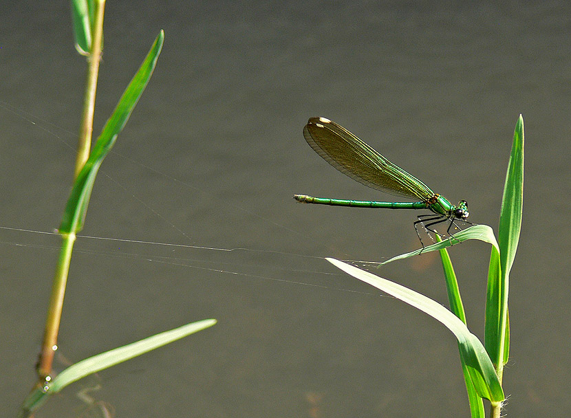 "photo ""Georgian Green Dragonfly"" tags: nature, insect"