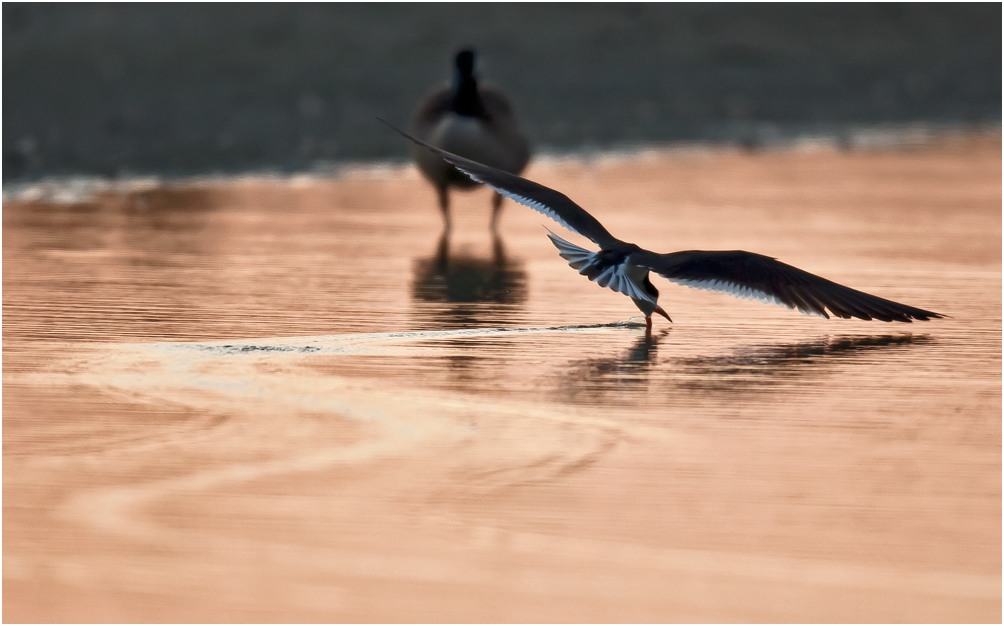 "photo ""Black Skimmer"" tags: nature, wild animals"