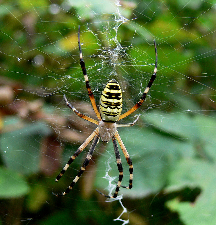 "photo ""Georgian Argiope Spider"" tags: nature, insect"