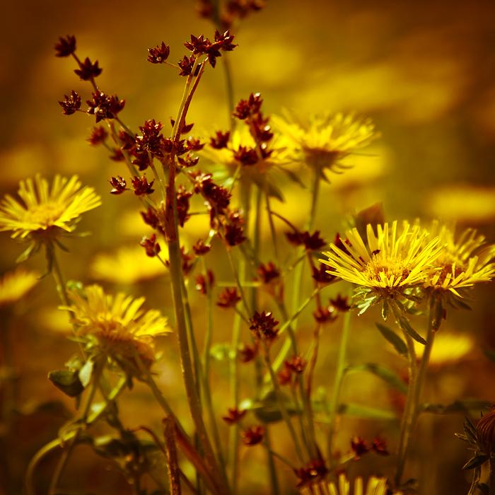 "фото ""Янтарное лето"" метки: природа, цветы"