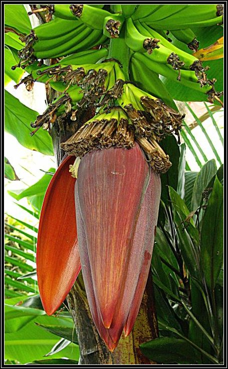 "фото ""Banana Flower opening."" метки: природа, цветы"