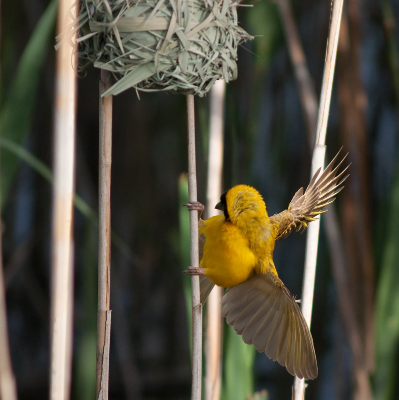 "photo ""WEAVER BIRD"" tags: nature, landscape, water, wild animals"