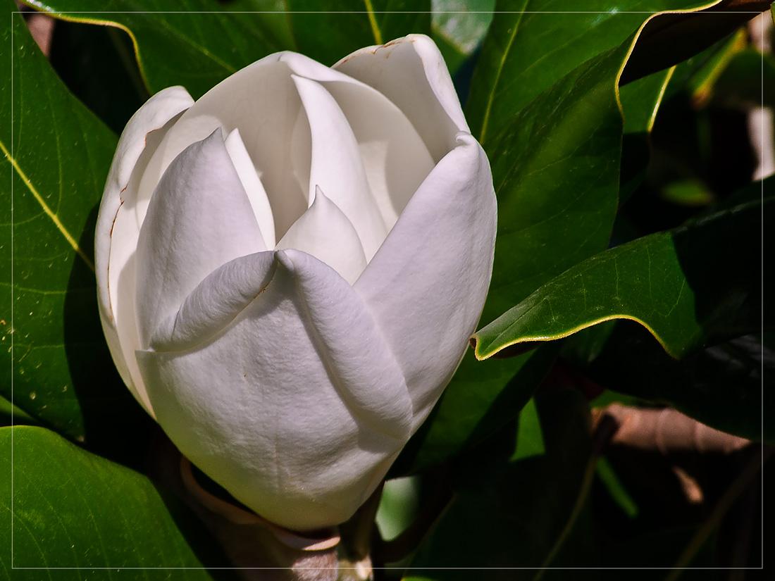 "photo ""Magnolia 1"" tags: nature, flowers"