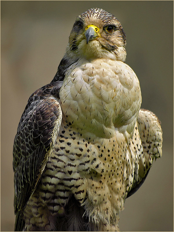 "photo ""Falcon"" tags: nature, macro and close-up, wild animals"