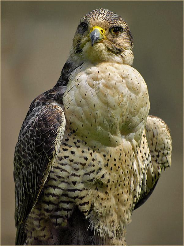 """фото """"Falcon"""" метки: природа, макро и крупный план, дикие животные"""