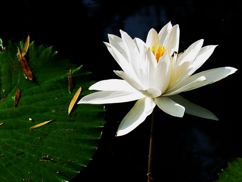 "photo ""White lotus"" tags: nature, flowers"