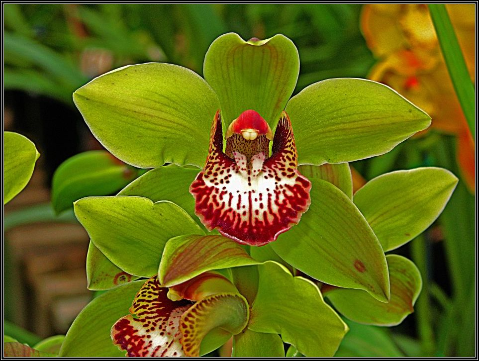 "photo ""Cymbidium Orchid."" tags: nature, flowers"