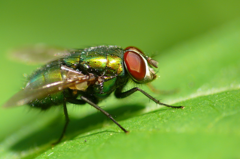 "photo ""Green Fly"" tags: nature, insect"