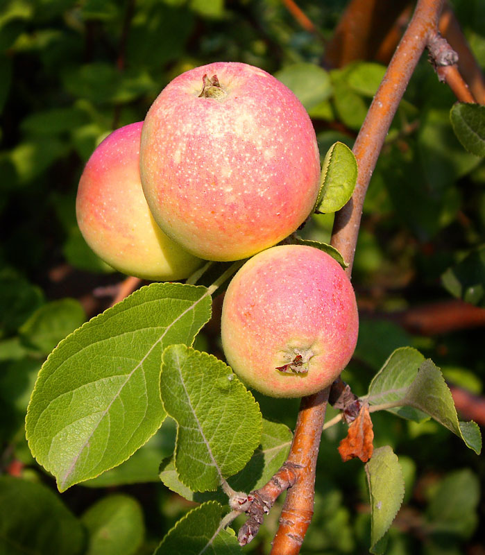 "photo ""First Apples"" tags: ,"