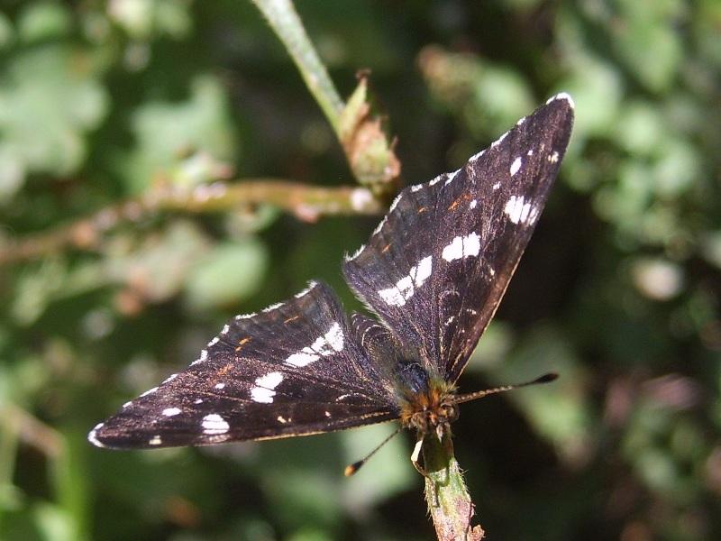 """фото """"Чёрная красавица."""" метки: природа, макро и крупный план, насекомое"""