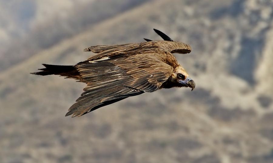 """фото """"Черный гриф"""" метки: природа, дикие животные"""