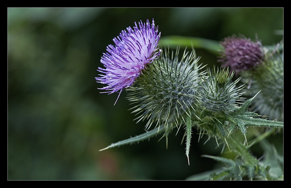 "photo ""Thistle"" tags: nature, flowers"