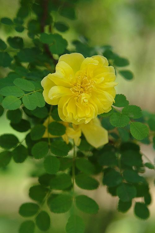 """фото """"Цветущий куст"""" метки: природа, цветы"""