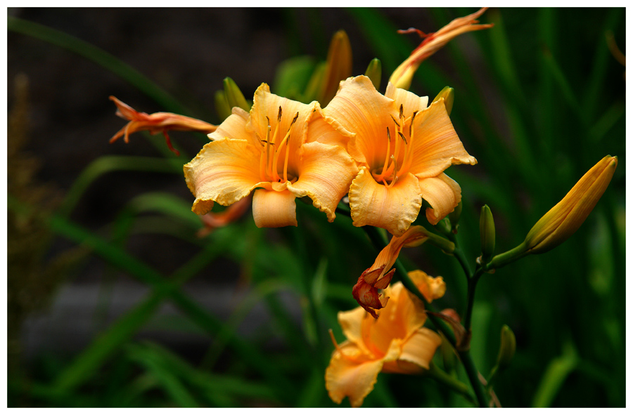 "photo ""Lilies"" tags: nature, macro and close-up, flowers"