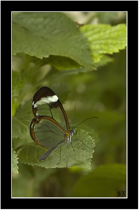 "photo ""Clear Wings Butterfly"" tags: nature, macro and close-up, insect"