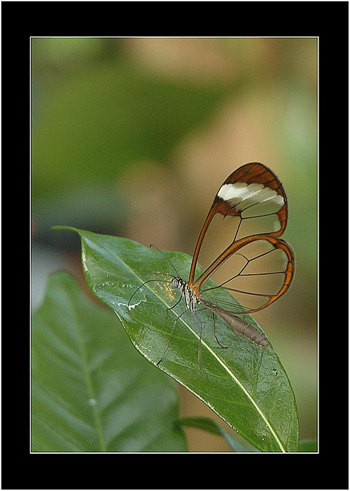 "фото ""Clear Wings Butterfly 2"" метки: природа, макро и крупный план, насекомое"
