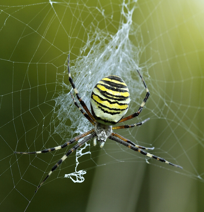 "фото ""Argiope bruennichi"" метки: природа, насекомое"